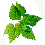 Herbs for hair growth - stinging nettle image