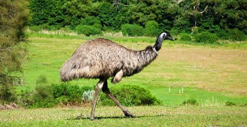 Emu oil benefits - article head image